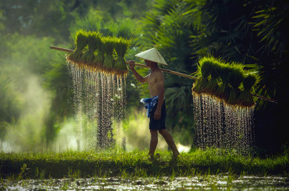 Farmers carrying seedlings in rice farm