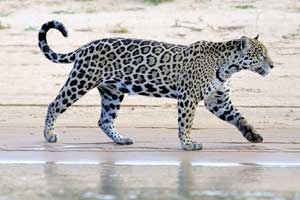 Leopard am Strand
